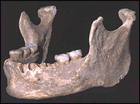 modern looking jaw with large teeth