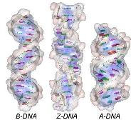 3 types of DNA