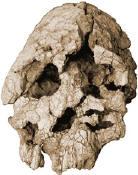 Keyanthropus platyops skull