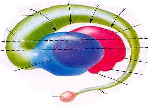 Reptilian human brain